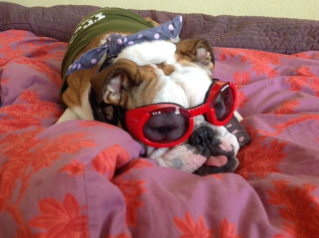 Chien Bulldog à lunettes