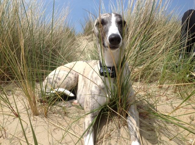 Whippet dans les dunes